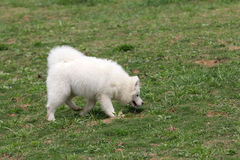 Samoyed Photographie stock