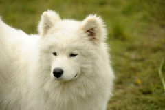 Samoyed Fotografia de Stock Royalty Free