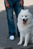 Samoyed Images stock