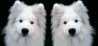 Samoyed Στοκ εικόνα με δικαίωμα ελεύθερης χρήσης