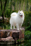 Samoyed Stock Images