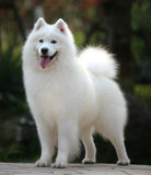 Samoyed royalty free stock photos