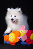 Samoyed. This is a 3 month's Samoyed Stock Photo