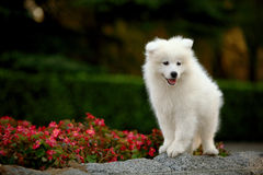 samoyed Obraz Royalty Free