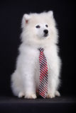 Samoyed Stockbild