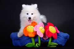 Samoyed Foto de Stock Royalty Free