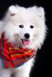 Samoyed Immagine Stock