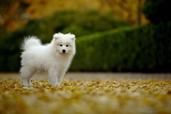 Samoyed Stock Fotografie