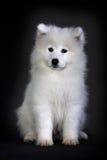 Samoyed. A baby samoyed looking beautiful royalty free stock photography