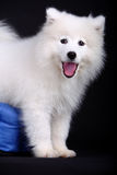samoyed Royaltyfri Foto