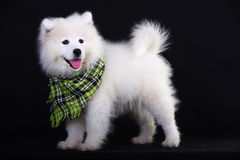 Samoyed Royalty Free Stock Images