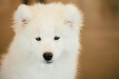 Άσπρος στενός επάνω κουταβιών κουταβιών σκυλιών Samoyed Στοκ Φωτογραφίες