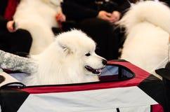 Собака Samoyed Стоковая Фотография