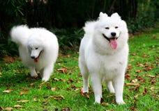 Samoyed. The dog named Samoyed,The white hair and the black eyes,gazing the front smartly Royalty Free Stock Image