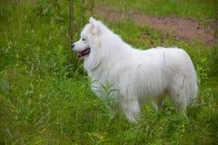 Σκυλί Samoyed στο ξύλο Στοκ εικόνα με δικαίωμα ελεύθερης χρήσης