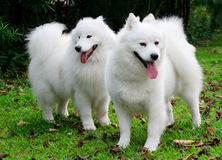 Samoyed stock photo