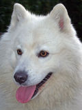 Samoyed stockbilder