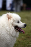 Samoyed image stock