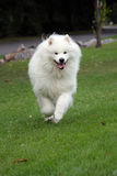Samoyed Royalty-vrije Stock Foto's