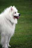 Samoyed. Happy Samoyed dog looking across open green fields Royalty Free Stock Photography
