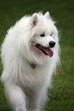 samoyed royaltyfria foton