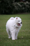 Samoyed Royalty-vrije Stock Fotografie