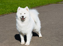Samoyed ahead. Royalty Free Stock Photo