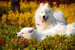 Samoyed--Anges de sourire Photo libre de droits