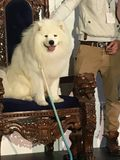 Samoyed auf Thron, Sydney Dog Lovers Show Lizenzfreies Stockfoto