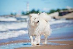 Samoyed on the beach Royalty Free Stock Photo