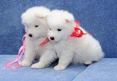 Samoyed (or Bjelkier) puppies Stock Photo