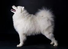 Samoyed blanc   Photographie stock