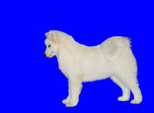 Samoyed on the blue. Stock Images
