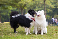 Samoyed and Border Collie Stock Image