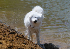 samoyed de crabot Photographie stock libre de droits