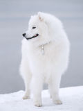 samoyed de crabot Images stock