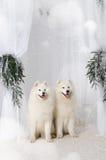 Samoyed de la neige deux Image stock