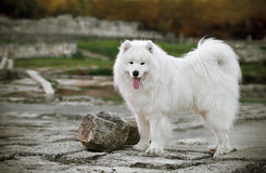 Samoyed in de oude stad Royalty-vrije Stock Foto