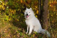 Samoyed de race de chien Images libres de droits