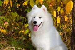 Samoyed de race de chien Photo libre de droits