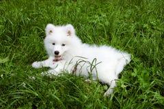 samoyed del cane Immagini Stock Libere da Diritti