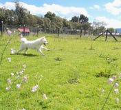 Samoyed, der in den Park an einem sonnigen Tag läuft lizenzfreie stockbilder