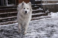 Samoyed, der im Schnee spielt Lizenzfreies Stockfoto
