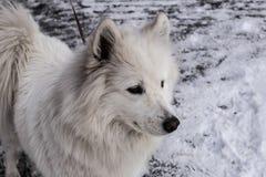 Samoyed, der im Schnee spielt Stockfoto