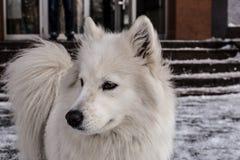 Samoyed, der im Schnee spielt Stockfotos