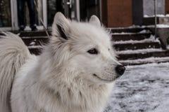 Samoyed, der im Schnee spielt Stockbild