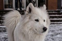 Samoyed, der im Schnee spielt Lizenzfreie Stockfotos