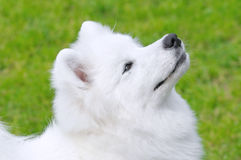 Samoyed dog. Portrait of white Samoyed dog Royalty Free Stock Photo