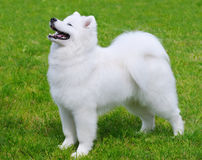 Samoyed dog. Puppy in field Royalty Free Stock Image