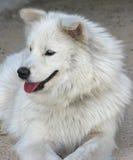 Samoyed dog. One year dog Royalty Free Stock Image